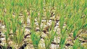 सरकार सूखा प्रभावित किसानों को देगी 9000 रूपए प्रति एकड़ की दर से अनुदान