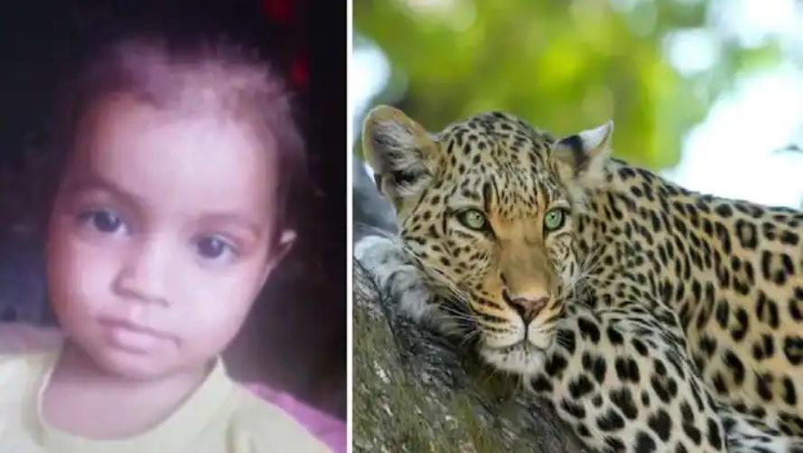 आदमखोर तेंदुआ पिता की गोद से 6 साल की मासूम बच्ची को खींच ले गया, देखते ही देखते बच्ची का किया शिकार, कहीं सिर तो कहीं मिला धड़