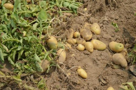 वाणिज्यिक आलू की खेती: कम से कम मेहनत से 4 महीने में 2.5 लाख तक कमाएं