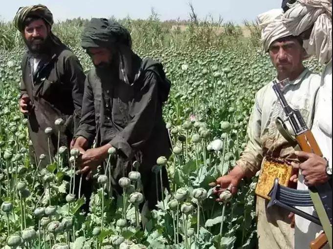 अफगानिस्तान में तालिबान के इंट्री के साथ फैलने लगा ड्रग्स का 'मायाजाल', पूरे भारत में सक्रिय हुआ नेटवर्क, ऐसे खुला राज