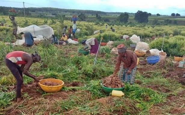 अदरक के किसान अनिश्चित भविष्य की ओर देख रहे हैं