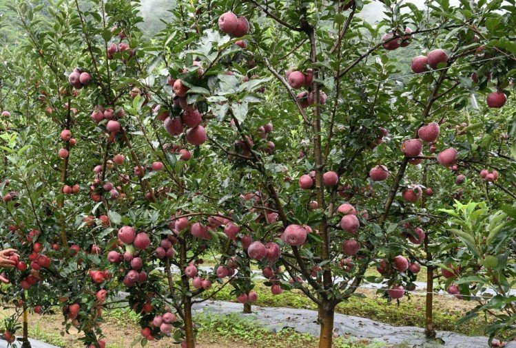 किसान परेशान: सेब कारोबार पर कोरोना की मार, प्रति पेटी 1000 से 1200 रुपये दाम गिरे