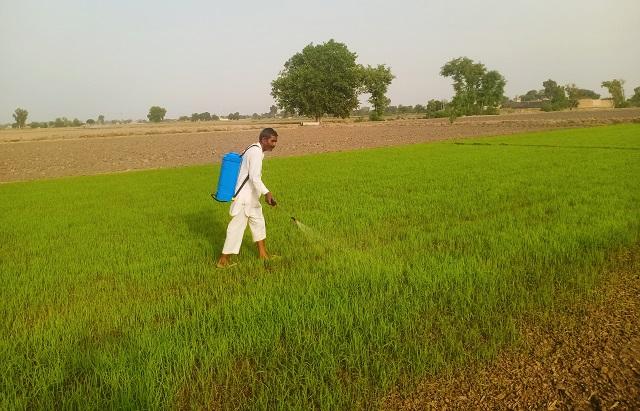 आईएआरआई ने धान किसानों को इस बीमारी के प्रति सचेत किया