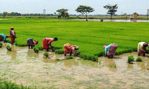 उर्वरक की कमी धान के किसानों को प्रभावित करती है