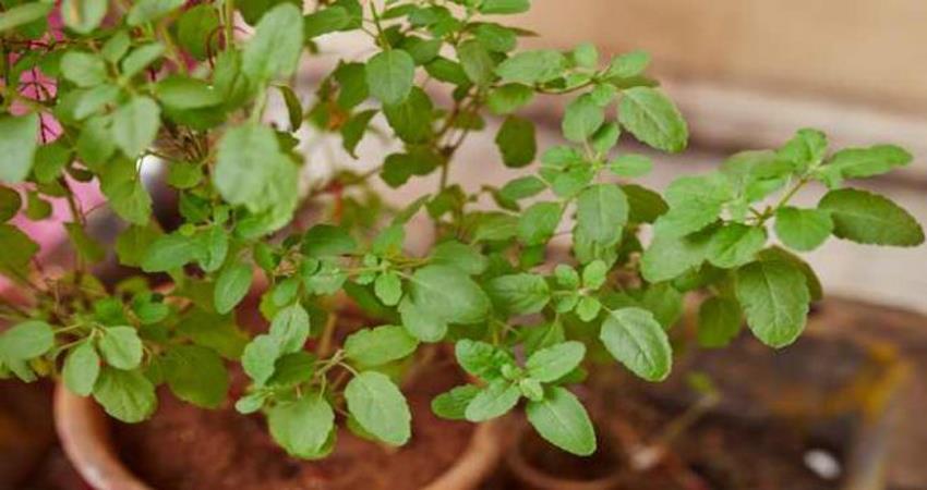 अगर घर में हैं तुलसी का पौधा तो भूलकर भी न करें ये काम, नहीं तो होगी दुर्भाग्य की बरसात